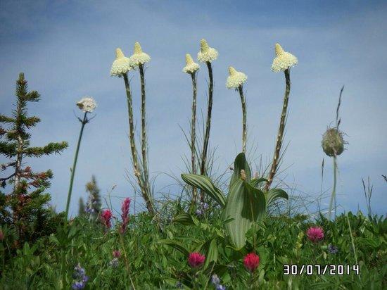 Mount Rainier : Beautiful flowers