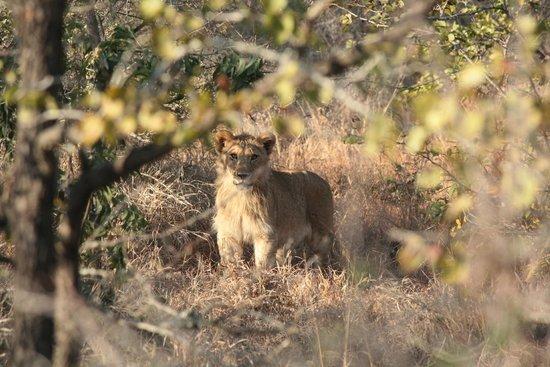 Shindzela Tented Safari Camp : leeuwtje van een maand of acht