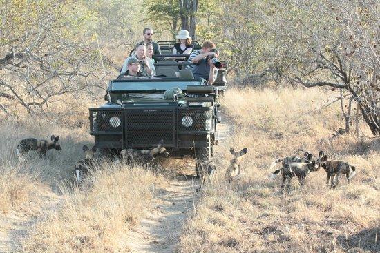 Shindzela Tented Safari Camp : Jeep omringd door nieuwsgierige jonge wilde honden