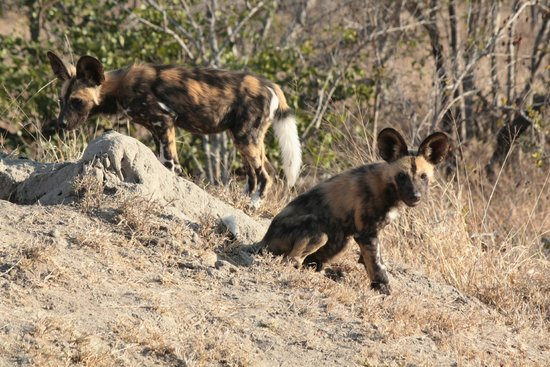 Shindzela Tented Safari Camp: jonge wilde honden