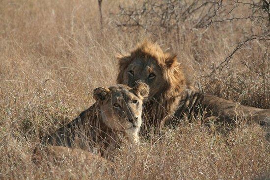 Shindzela Tented Camp: verliefde leeuwen