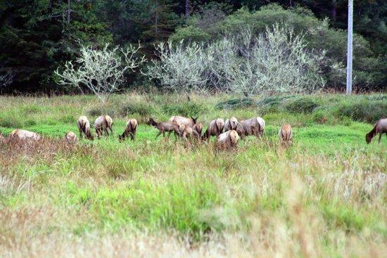 Redwood National Park: Roosevelt Elk