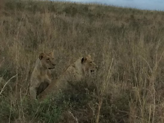 Nairobi Tented Camp : lions found!