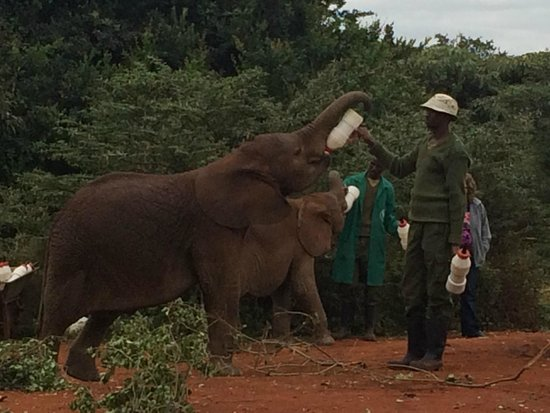 Nairobi Tented Camp: elephant orphanage