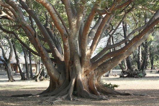 Letaba Rest Camp : boom in het kamp