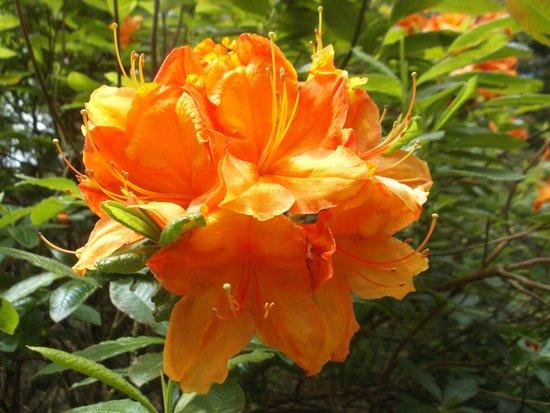 Trewidden Garden: Summer Flowering Orange Rhododendron