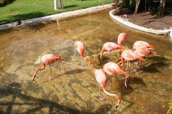 Iberostar Cozumel : friendly neighborhood flamingo