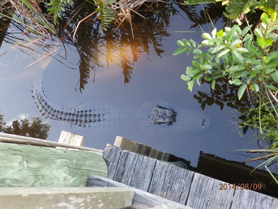 Capt Mitch's - Everglades Private Airboat Tours: Alligator underneath the building