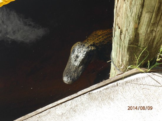 Capt Mitch's - Everglades Private Airboat Tours: Alligator by car park