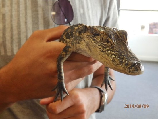 Capt Mitch's - Everglades Private Airboat Tours: Holding baby alligator
