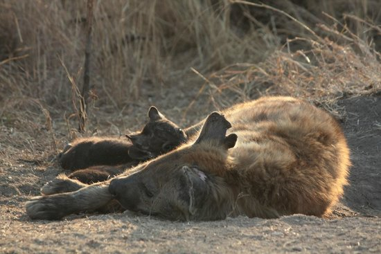 Berg-en-Dal : Gevlekte hyena met twee jongen