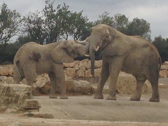 Réserve Africaine de Sigean : African elephants playing