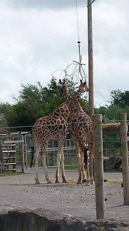 Folly Farm Adventure Park and Zoo: Giraffes
