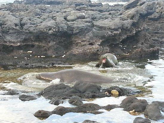 Ka'ena Point State Park: Hawaiian monk seals @ Ka'ena Point