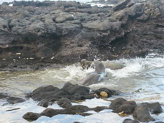 Ka'ena Point State Park: Hawaiian monk seals fighting