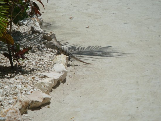 "Coco Beach Resort: Iguana...quite a few of them.  Be sure to see ""George."""