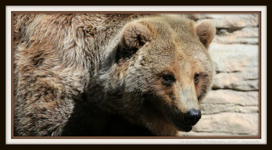Denver Zoo: Close up Grizzly