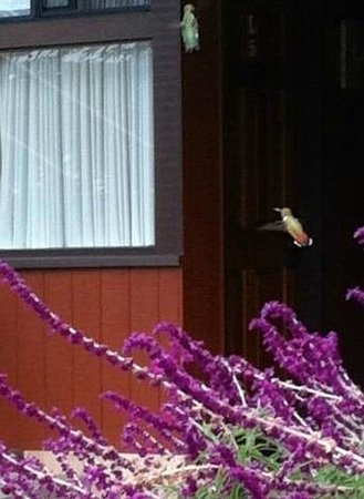 Ragged Point Inn and Resort : Two hummingbirds in flight on grounds of hotel