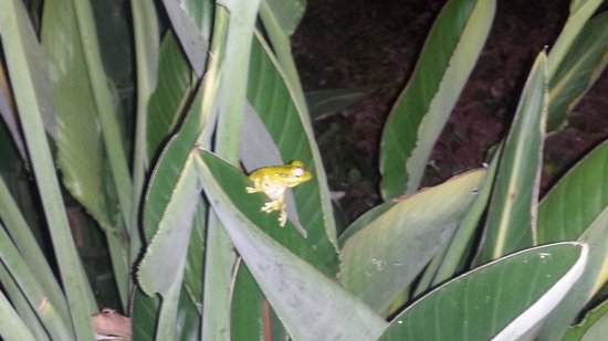 Avanti International Resort: tree frog in the tree @avanti