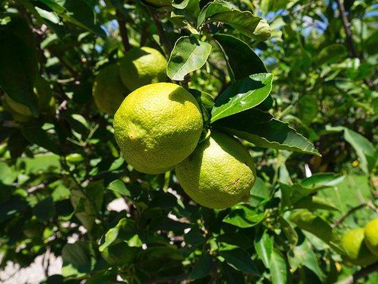 Palazzo Pfanner: Lemons on the tree