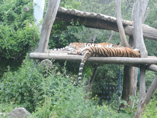 Tiergarten Schoenbrunn - Zoo Vienna: schlafende Tiger