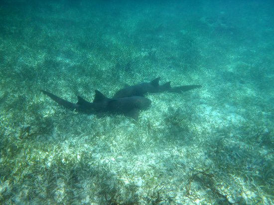Tranquility Bay Resort : Harmless nurse sharks hanging out