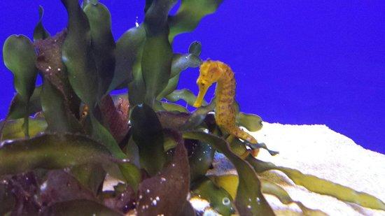 Palma Aquarium: Caballito de mar