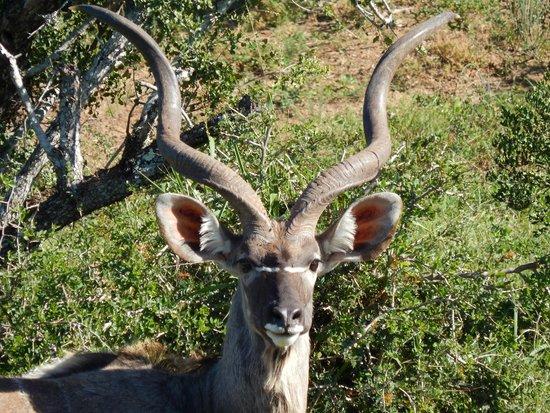 Addo Elephant National Park: impressive horns on Kudu
