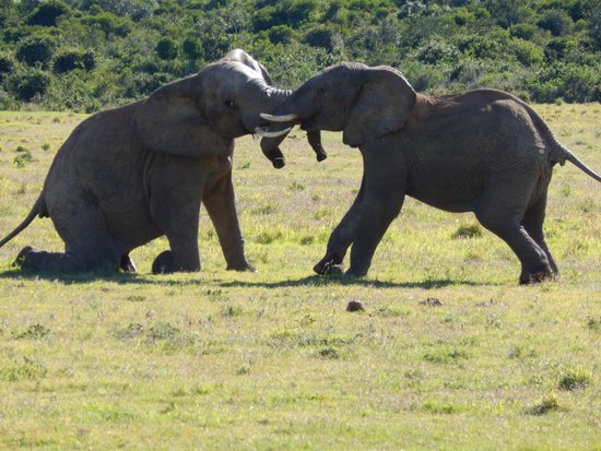 Parc national des Éléphants d'Addo : young males play fighting