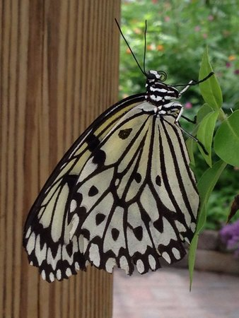 Butterfly House : One of the beauties you can see.