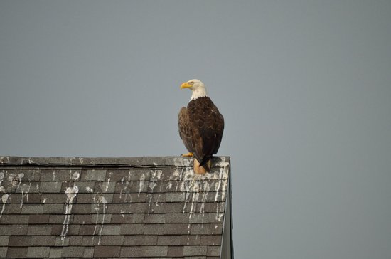 The Inn at the Wharf: Bald Eagle (scared the gulls away) on top of other Apartment