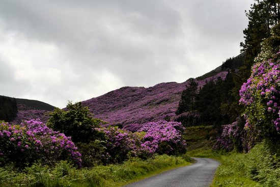 Knockmealdown Mountains: Rhododendron Paradise on the road to the Vee.  June 2014