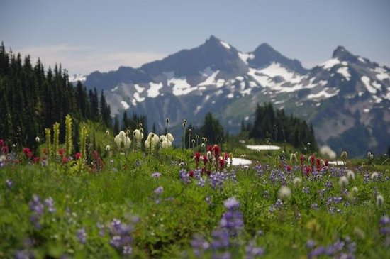 National Park Inn at Mount Rainier: Wildflowers near Paradise August 7, 2014