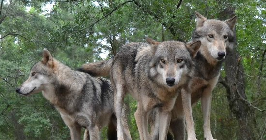 Seacrest Wolf Preserve: Three brothers affectionately known as the Brat Pack