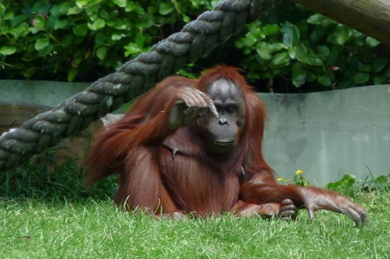 Auckland Zoo: The old man orangutan