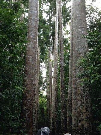 Paronella Park: Avenue of giant Queensland Kauri trees