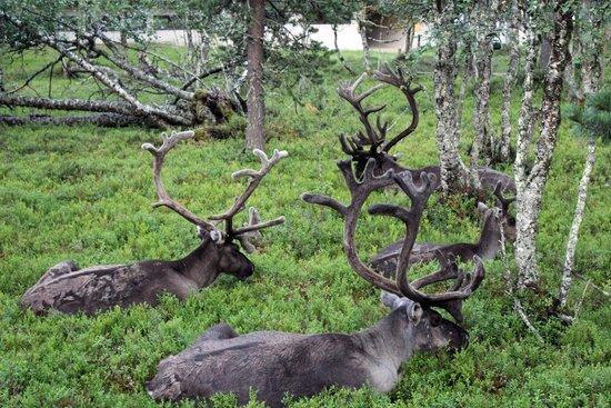 Lapland Hotel Riekonlinna: Il riposo delle renne
