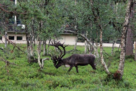 Lapland Hotel Riekonlinna: Il maschio dominante