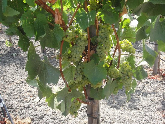 Ram's Gate Winery: The vines