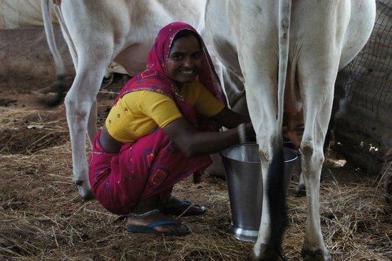 Krishna Ranch: Narani milking the cow