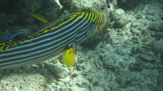 Adaaran Select Meedhupparu : more fish - sweet lips