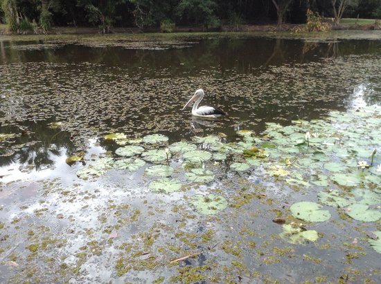 Centenary Lakes - Cairns Botanic Gardens: Pelican among the waterlillies