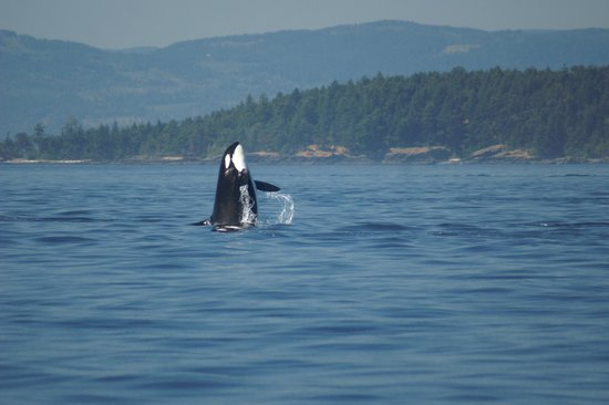 "Sidney Whale Watching: Orca saying ""Hi"""
