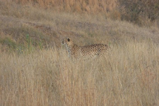 EuroZulu Guided Tours & Safaris : Cheetah