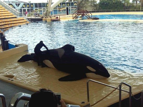Loro Parque: Una de las orcas