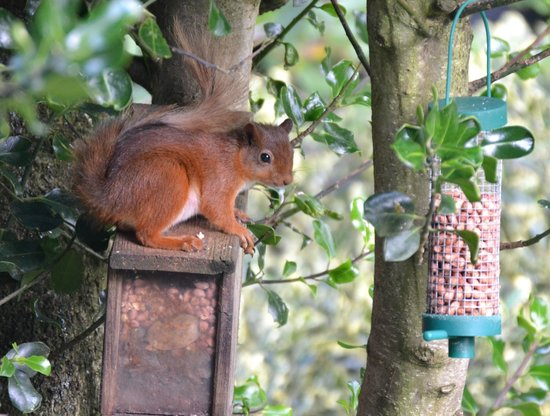 Dancing Beck: Red Squirrel in rear garden