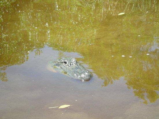 Capt Mitch's - Everglades Private Airboat Tours: Alligator