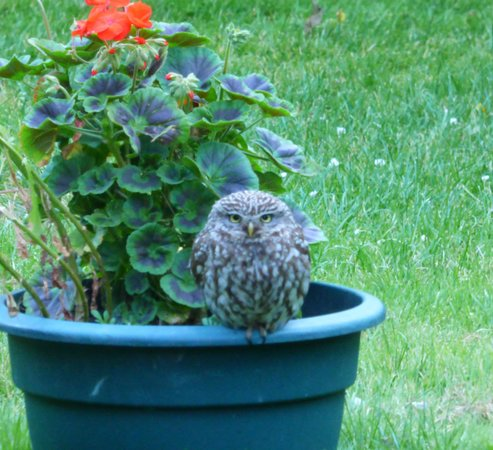 Avista B&B at Penrose: Some wildlife (ourLlttle Owl)