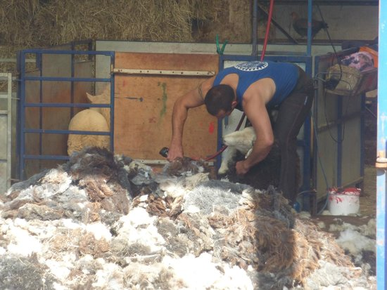 Littletown Farm: Sheep shearing in the shed