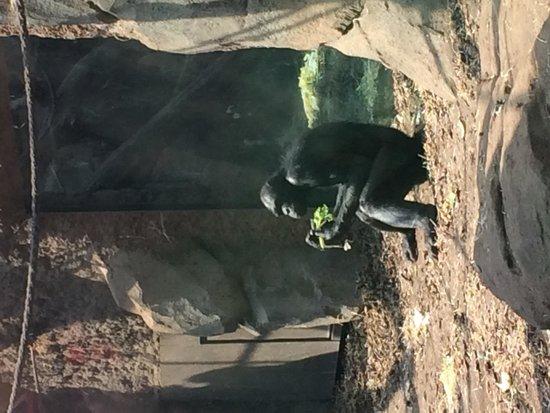 Zoologischer Garten Frankfurt/Main: Deze aap is net een mens of zijn wij net apen?